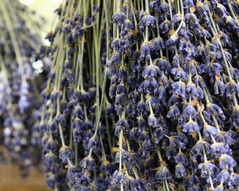 Lavender, Destination Pays d'Uzès Pont
